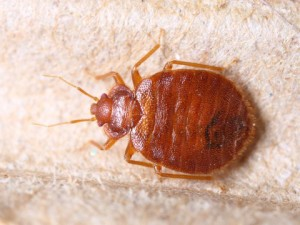 bed bugs control covina